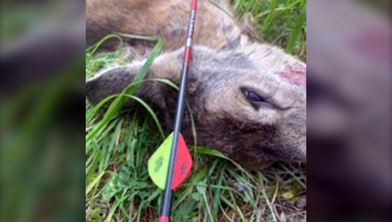 Police are looking for information about an antlerless mule deer that was discovered shot with an arrow lying in a road outside Cochrane August 29.