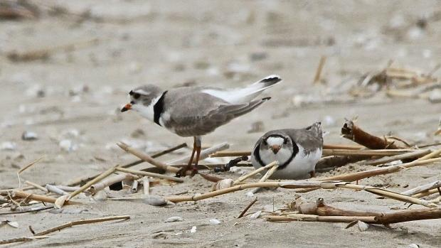 Piping plovers are seen in Sauble Beach, Ont. in this undated file image. (Scott Miller / CTV London)