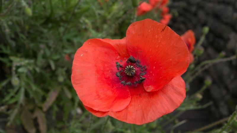 Flanders poppy (Thomas Quine / flickr / CC BY 2.0)