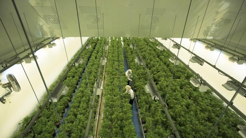Staff work in a marijuana grow room that can be viewed by at the new visitors centre at Canopy Growth's Tweed facility in Smiths Falls, Ont. on Thursday, Aug. 23, 2018. Canopy Growth Corp. is delaying the launch of its cannabis-infused drinks. The company says work to scale up to commercial production is not complete and it's delaying its launch date while it completes the final steps. THE CANADIAN PRESS/Sean Kilpatrick