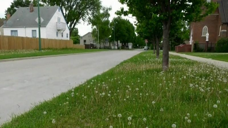 Councillor Looking To Make It Easier For Residents To Plant Clover And Other Diverse Species