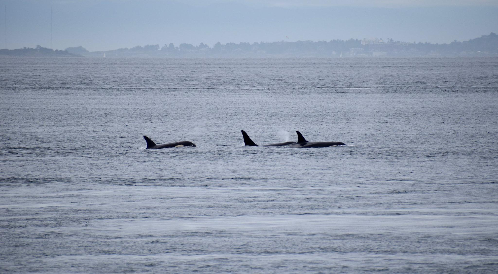 Photo taken from the Pacific Whale Watchers Association