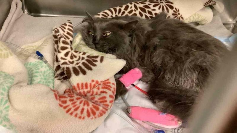 Luna, a two-year-old cat, is lucky to be alive after a coyote attack in North Vancouver in June, 2020. (Submitted)