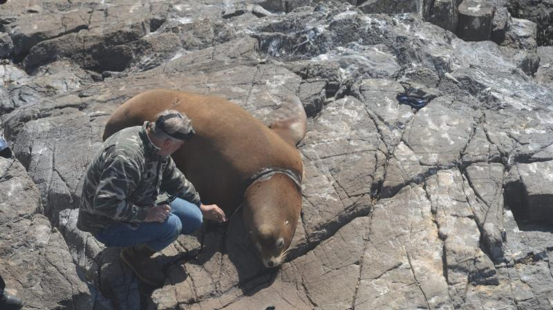 Photos of the encounter appear to show scarring around the sea lion's neck while conservationists work to remove the obstruction. (Race Rocks Ecological Reserve).