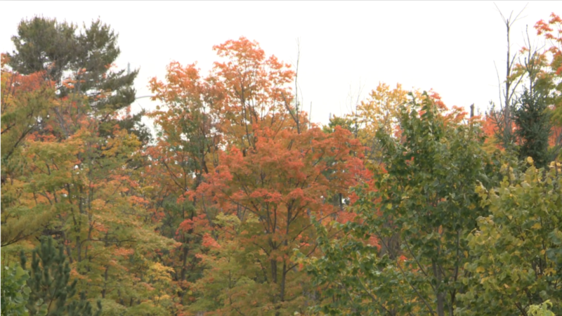 Fall leaves in Gatineau Park, Sept. 27, 2020. (Mike Mersereau / CTV News Ottawa)
