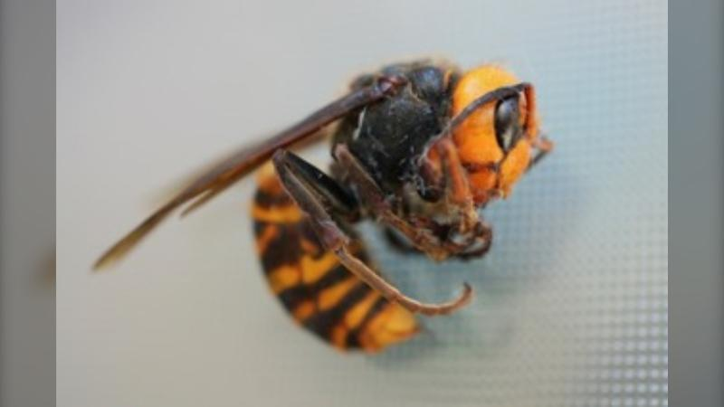 An example of the Asian giant hornet. (B.C. Government/handout)