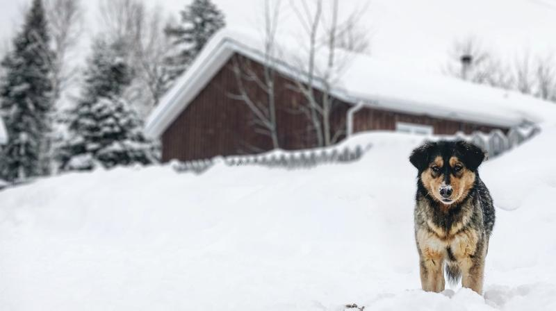 A dog in Northern Quebec (all photos in this article: Chiots Nordiques)