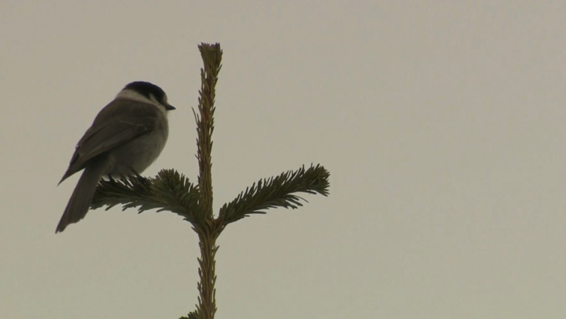 File photo of Canada Jay on Mount Washington. (CTV)