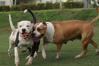 Public domain photo of pit bulls playing. No credit required