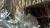 A coyote peers down from a backyard of the Neville Park ravine in the Beach neighborhood in Toronto on Wednesday, Dec. 31, 2008.