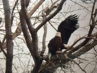 am800-news-bald-eagle-little-river-2017