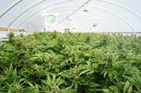 AM800-News-Marijuana-Stock-Photo-1