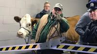 Stormy, the cow, is led out of a parking garage Thursday, Dec. 14, 2017, after its second escape from a Philadelphia church's live nativity scene.