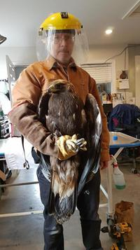 The Cobequid Wildlife Rehabilitation Centre in Hilden is monitoring a rare golden eagle, found by fishermen off the coast of Seal Island (CWRC photo/Facebook)