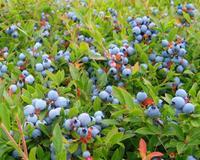 There are more than 1000 blueberry producers in Nova Scotia, with about 300 commercial growers who get most or all of their income from blueberries (Wild Blueberry Producers Association of Nova Scotia)