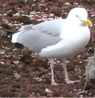 This is What Baby Seagulls Look Like