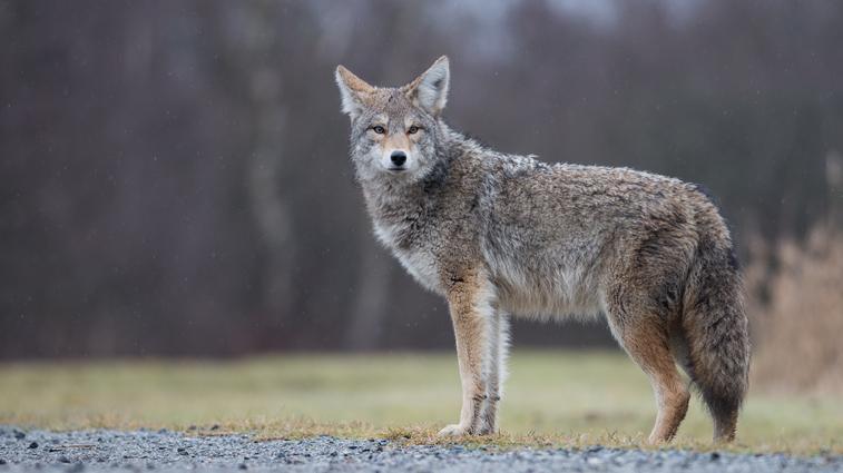 Les Coyotes Ne Peuvent 234 Tre 233 Radiqu 233 S Selon La Mairesse Plante