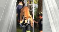 cougar-twitter-video-Victoria-firefighters-L-730-e1556671370175