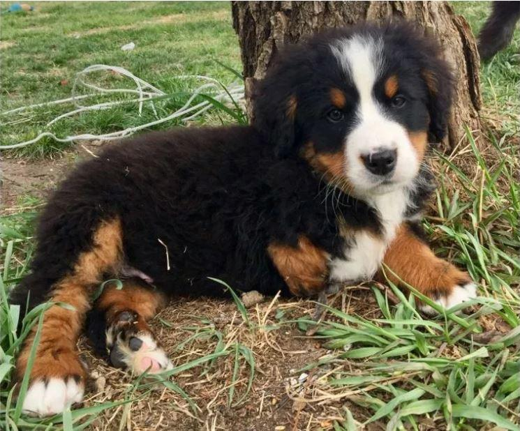 Edmonton Area Breeder Donating A 3 Legged St Bernese Pup