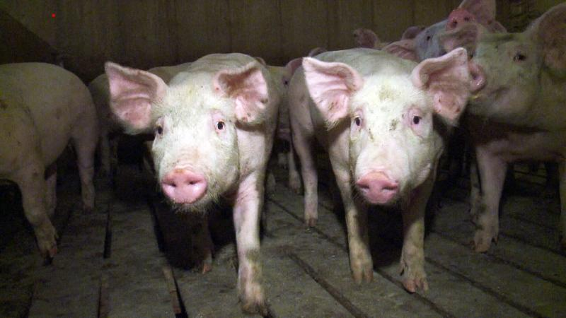 China bans imports from Quebec pork producer