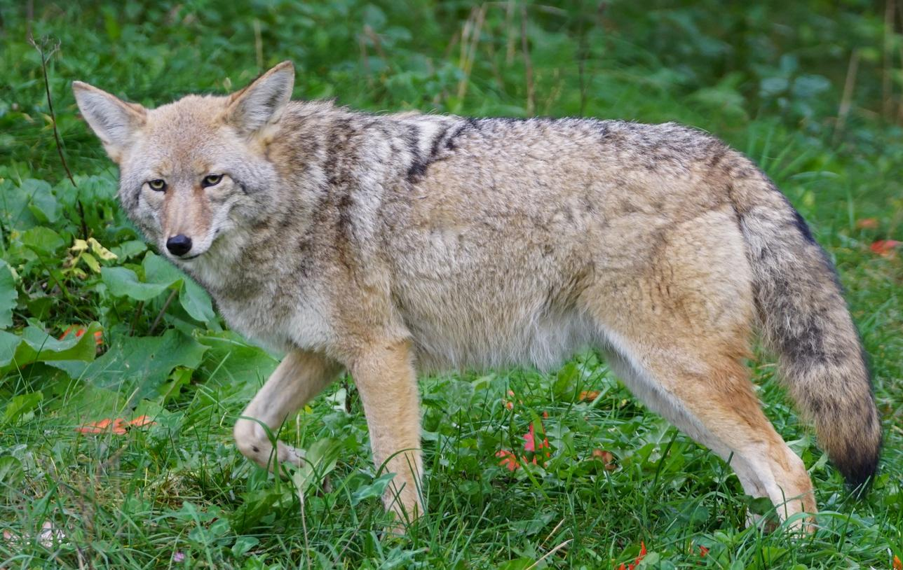am800-news-coyote-istock