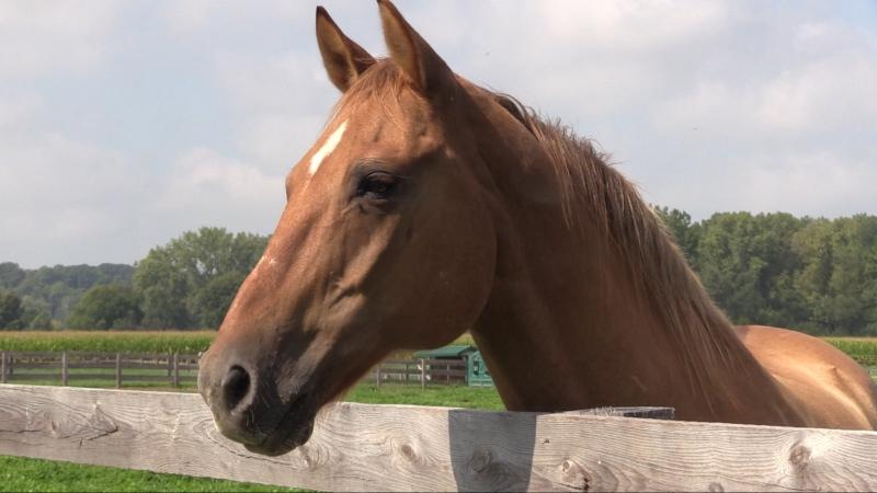A horse used for therapy work is seen at Belvoir Estate Farm in Delaware, Ont. on Wednesday, Sept. 11, 2019. (Celine Zadorsky / CTV London)
